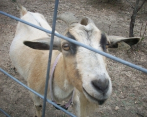 Goat Sandy 2