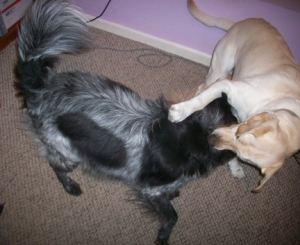 Dogs Playing 005