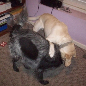 Dogs Playing 013