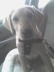 Maya in Car Wearing Dog Seat Belt