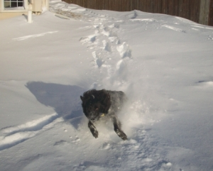 Australian Shepherd Dog Pierson in 12 Inches of Snow 007