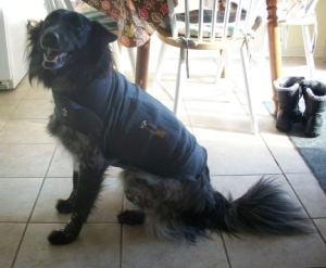 Pierson Wearing the Thundershirt 003
