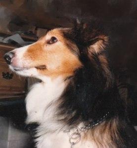 Cassie - Shetland Sheepdog