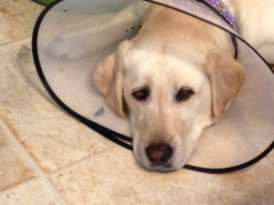 My Sad Dog Maya in a Cone