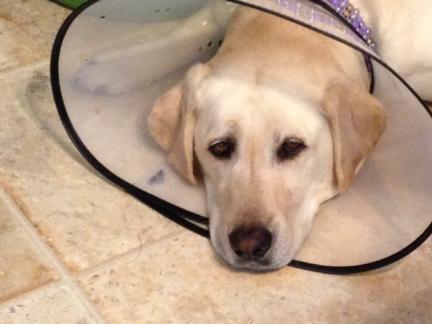 My Sad Dog Maya in a Cone