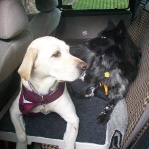 Dogs Maya & Pierson on Pet Dek in Car
