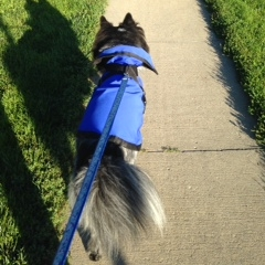 Aussie Mix Dog Pierson Wearing Rein Coat