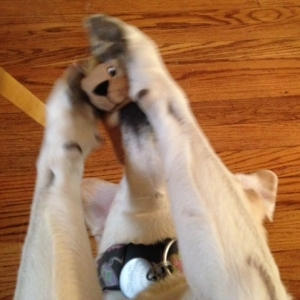 Maya with Hide-a-Squirrel Dog Toy
