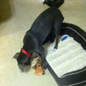 Blue Lacy with Her Dog Toys
