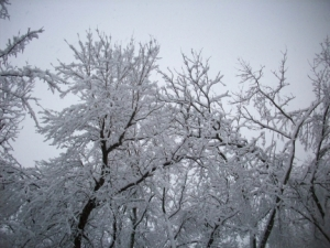 Snow-Filled Trees in Our Back Yard