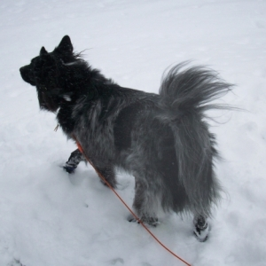 My Fluffy Dog Pierson in the Snow