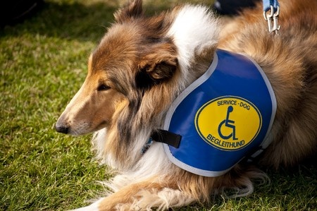 Collie Service Dog